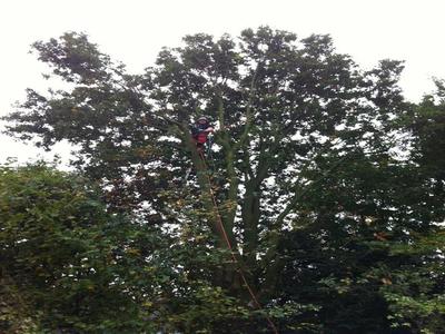 BoomServiceRutten Bomen snoeien kappen vellen en advies boom 50