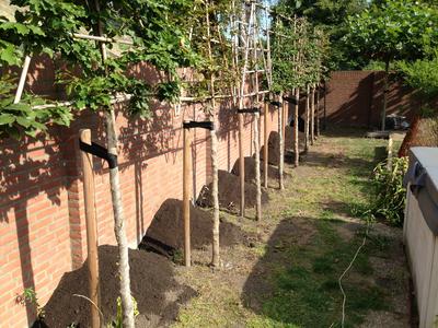 BoomServiceRutten Bomen snoeien kappen vellen en advies boom 47