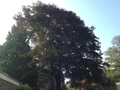 BoomServiceRutten Bomen snoeien kappen vellen en advies boom 45