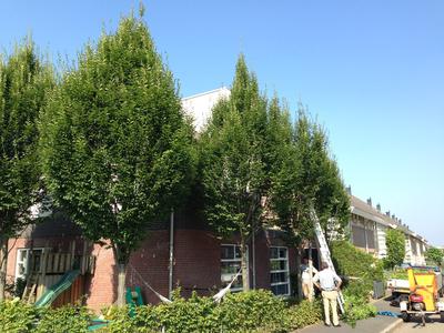 BoomServiceRutten Bomen snoeien kappen vellen en advies boom 43